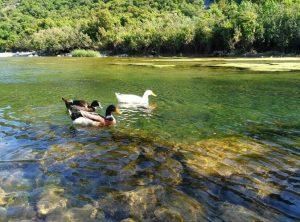 Olimpos göleti ördek sürüsü