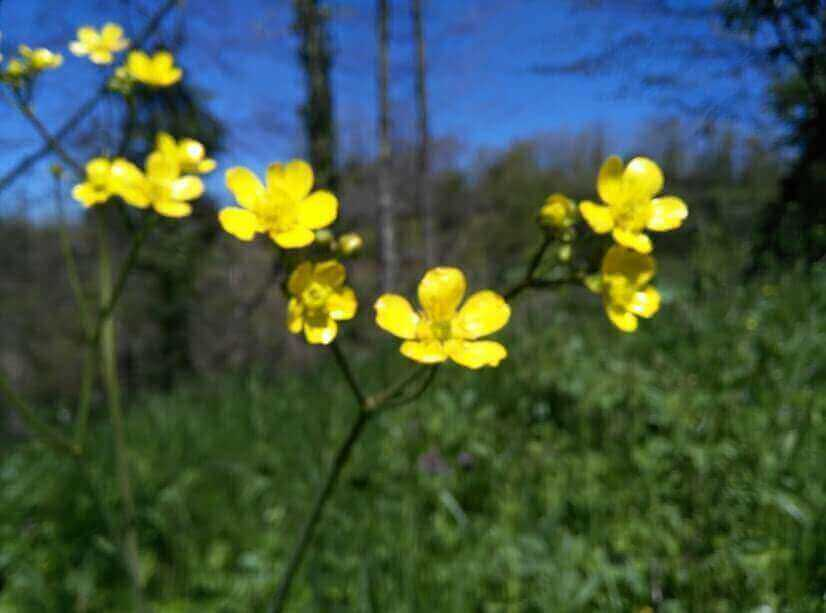 Polonezköy Sarı Çiçek